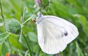 Красивая белая бабочка