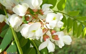 Белая акация в цвету